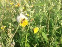 Wildblumenwiesen für Insekten